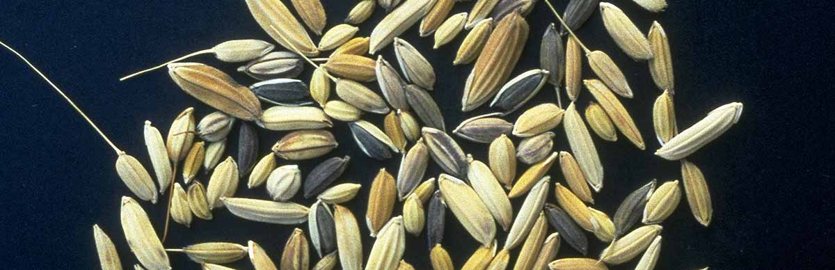 Diversity in rice seeds © Cirad, Jean Christophe Glaszmann