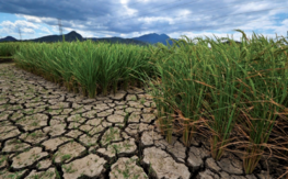 Growing rice in unfavourable conditions is one of the main challenges for the future. © IRRI