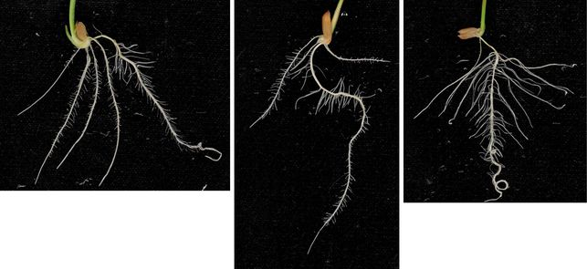 Rice root systems © P. Gantet/N. Le Khan